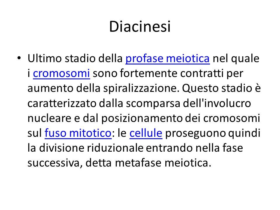 Diacinesi Ultimo stadio della profase meiotica nel quale i cromosomi sono fortemente contratti per aumento della spiralizzazione. Questo stadio è cara