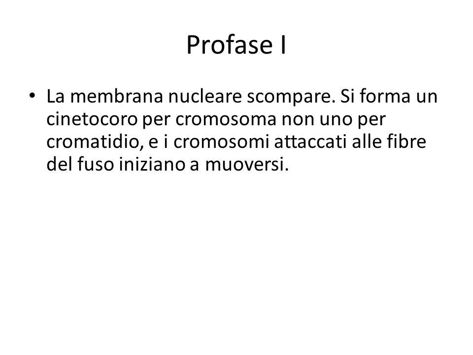 Profase I La membrana nucleare scompare. Si forma un cinetocoro per cromosoma non uno per cromatidio, e i cromosomi attaccati alle fibre del fuso iniz