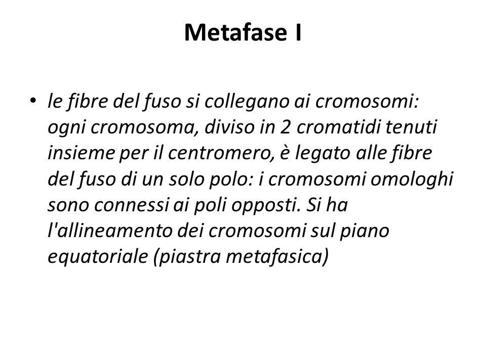 Metafase I le fibre del fuso si collegano ai cromosomi: ogni cromosoma, diviso in 2 cromatidi tenuti insieme per il centromero, è legato alle fibre de