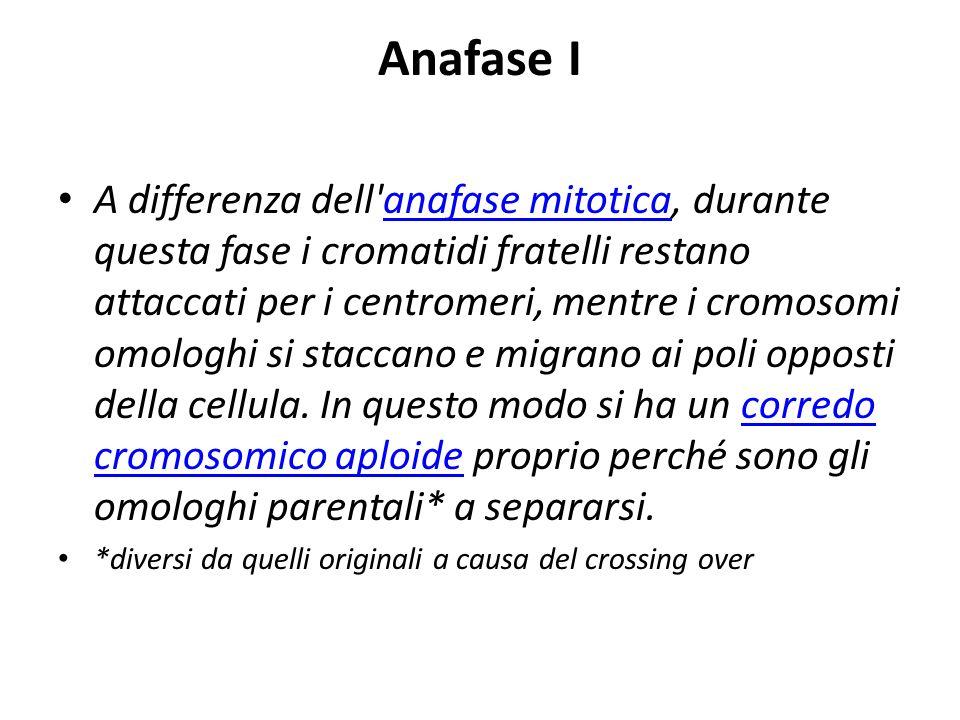 Anafase I A differenza dell'anafase mitotica, durante questa fase i cromatidi fratelli restano attaccati per i centromeri, mentre i cromosomi omologhi
