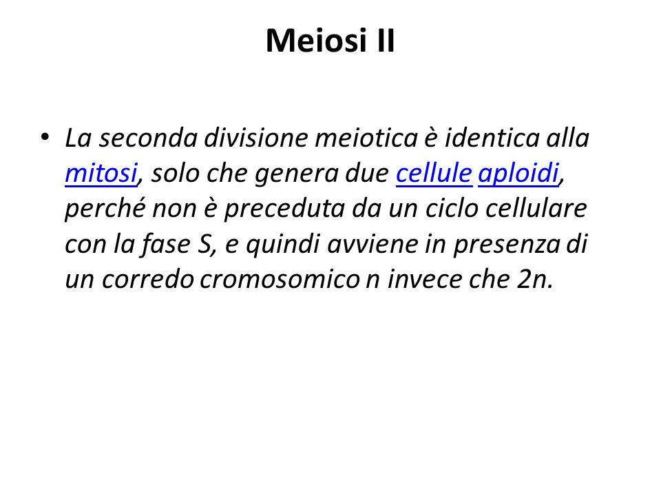 Meiosi II La seconda divisione meiotica è identica alla mitosi, solo che genera due cellule aploidi, perché non è preceduta da un ciclo cellulare con
