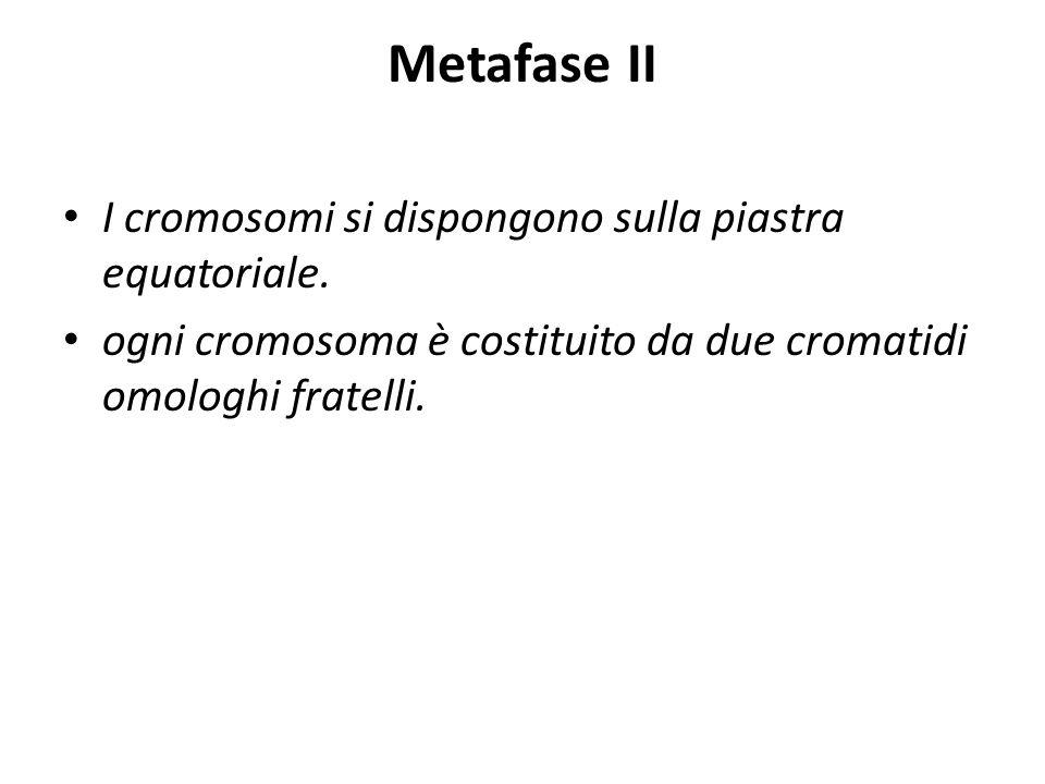 Metafase II I cromosomi si dispongono sulla piastra equatoriale. ogni cromosoma è costituito da due cromatidi omologhi fratelli.