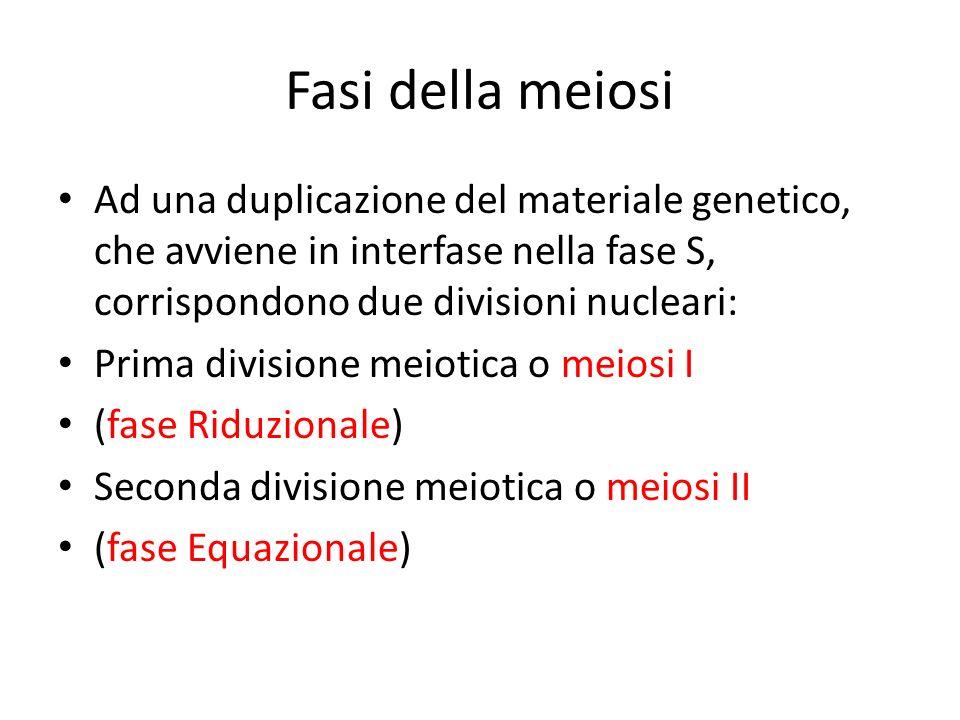 Fasi della meiosi Ad una duplicazione del materiale genetico, che avviene in interfase nella fase S, corrispondono due divisioni nucleari: Prima divis