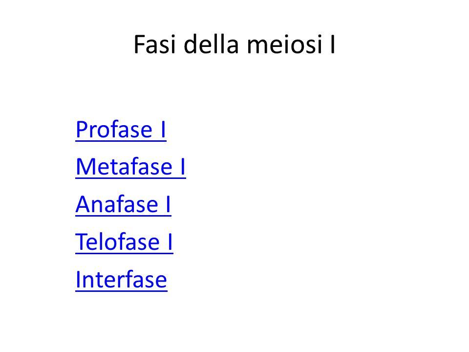 Fasi della meiosi I Profase I Metafase I Anafase I Telofase I Interfase