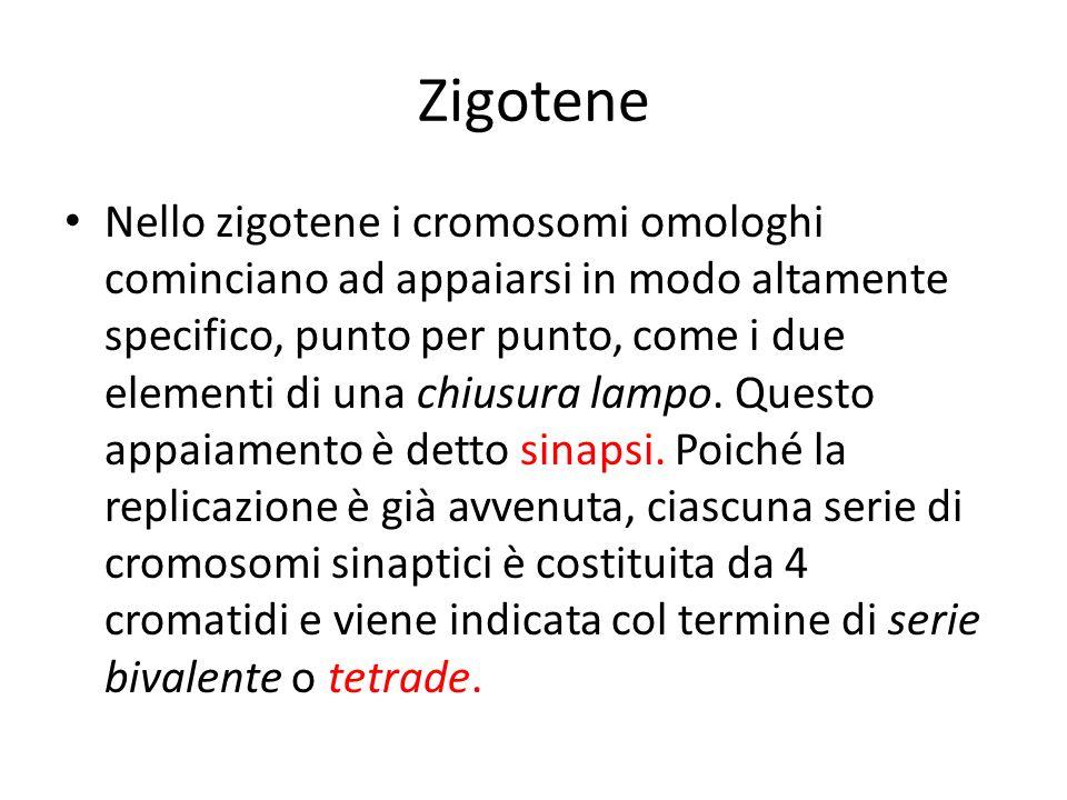 Zigotene Nello zigotene i cromosomi omologhi cominciano ad appaiarsi in modo altamente specifico, punto per punto, come i due elementi di una chiusura