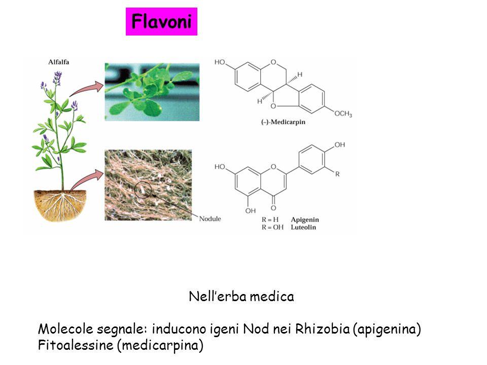 Nellerba medica Molecole segnale: inducono igeni Nod nei Rhizobia (apigenina) Fitoalessine (medicarpina) Flavoni