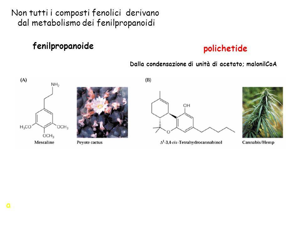 fenilpropanoide polichetide Non tutti i composti fenolici derivano dal metabolismo dei fenilpropanoidi a Dalla condensazione di unità di acetato; malo