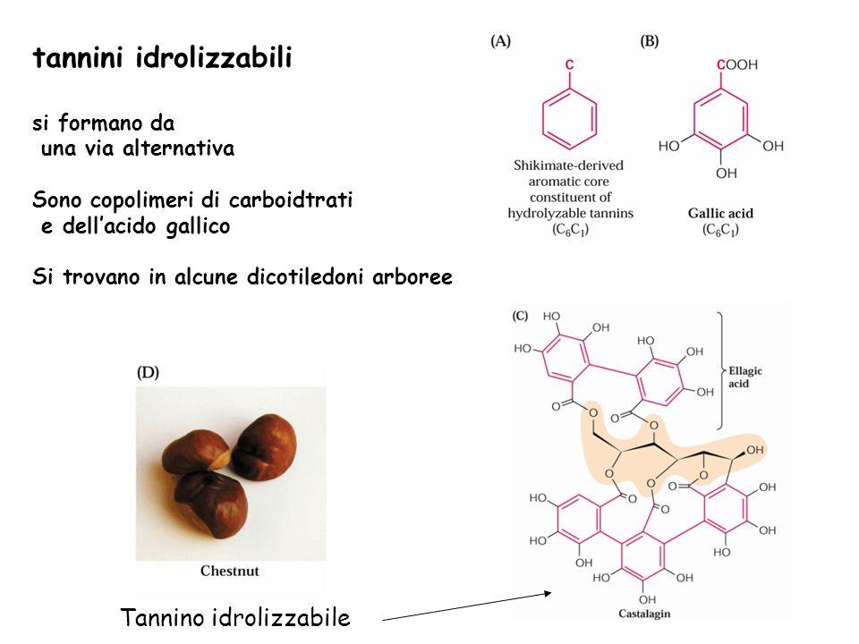 tannini idrolizzabili si formano da una via alternativa Sono copolimeri di carboidtrati e dellacido gallico Si trovano in alcune dicotiledoni arboree