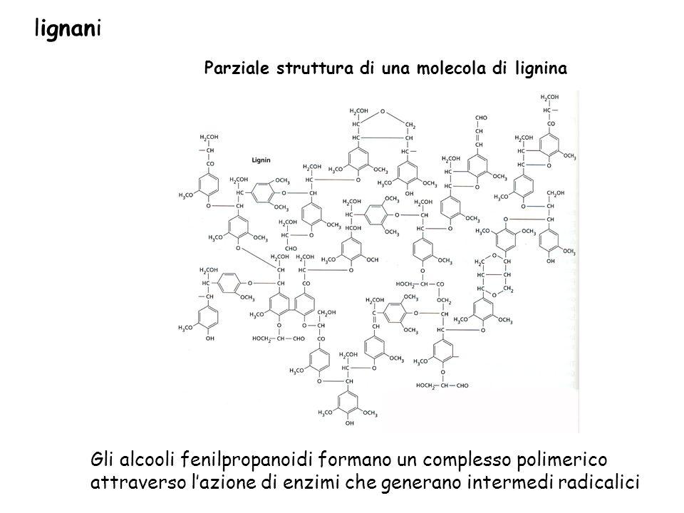 Parziale struttura di una molecola di lignina Gli alcooli fenilpropanoidi formano un complesso polimerico attraverso lazione di enzimi che generano in