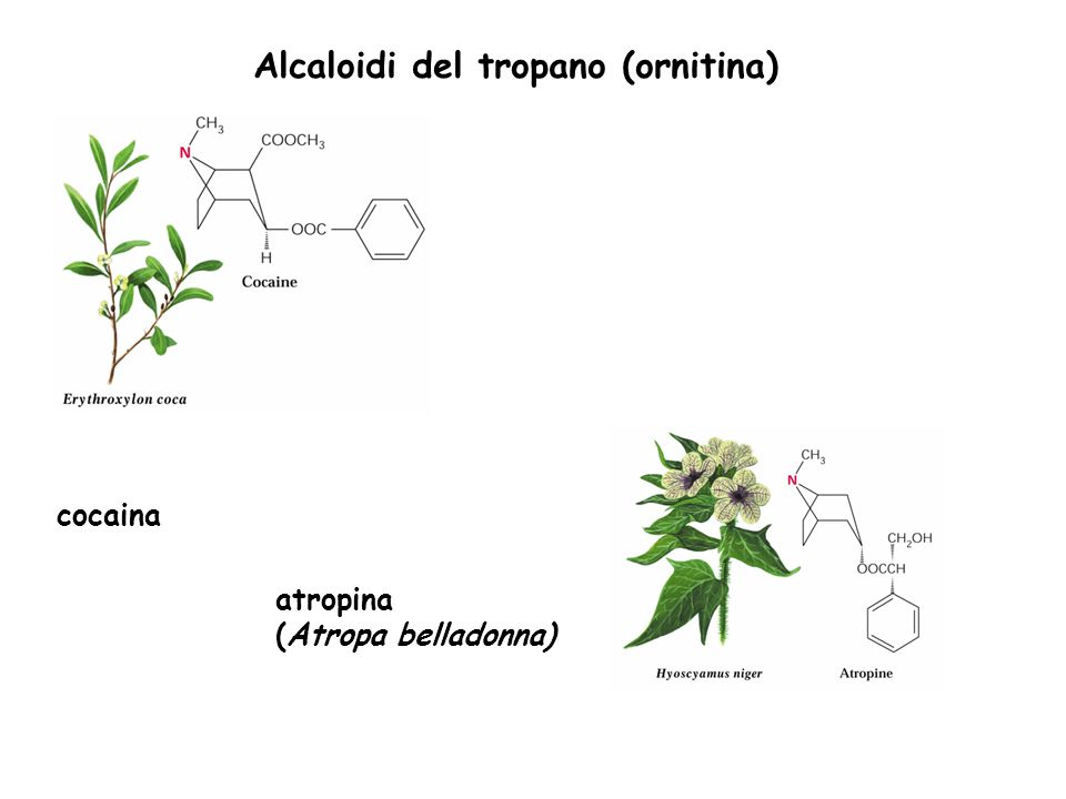 Alcaloidi del tropano (ornitina) cocaina atropina (Atropa belladonna)