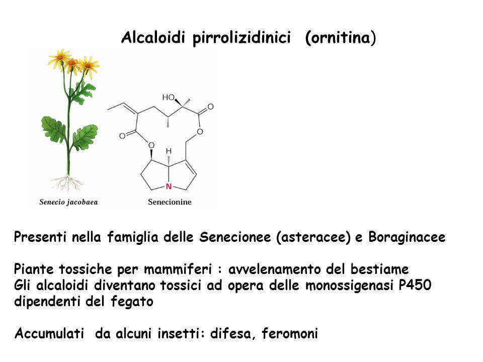 Alcaloidi pirrolizidinici (ornitina) Presenti nella famiglia delle Senecionee (asteracee) e Boraginacee Piante tossiche per mammiferi : avvelenamento
