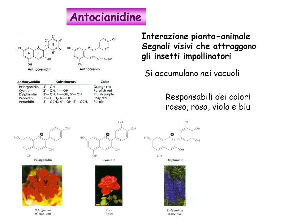 Interazione pianta-animale Segnali visivi che attraggono gli insetti impollinatori Si accumulano nei vacuoli Responsabili dei colori rosso, rosa, viol