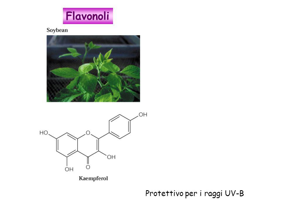 Protettivo per i raggi UV-B Flavonoli