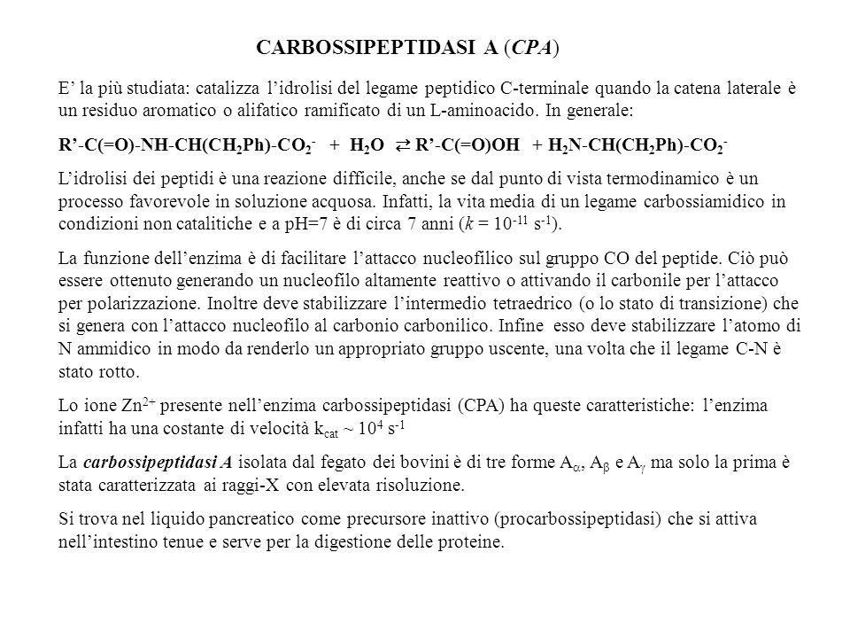 CARBOSSIPEPTIDASI A (CPA) E la più studiata: catalizza lidrolisi del legame peptidico C-terminale quando la catena laterale è un residuo aromatico o a