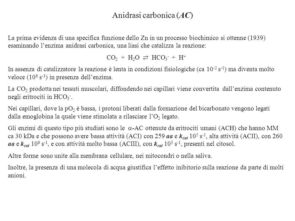 Anidrasi carbonica (AC) La prima evidenza di una specifica funzione dello Zn in un processo biochimico si ottenne (1939) esaminando lenzima anidrasi c