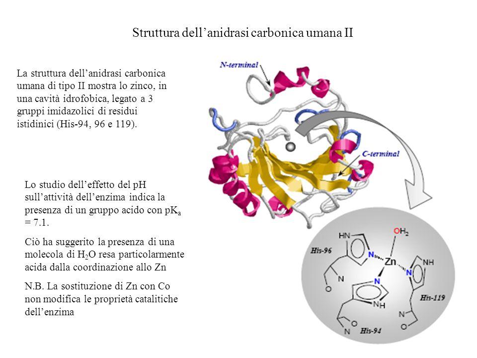 Struttura dellanidrasi carbonica umana II La struttura dellanidrasi carbonica umana di tipo II mostra lo zinco, in una cavità idrofobica, legato a 3 g