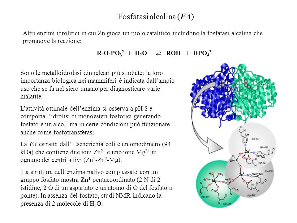 Fosfatasi alcalina (FA) Altri enzimi idrolitici in cui Zn gioca un ruolo catalitico includono la fosfatasi alcalina che promuove la reazione: R-O-PO 3