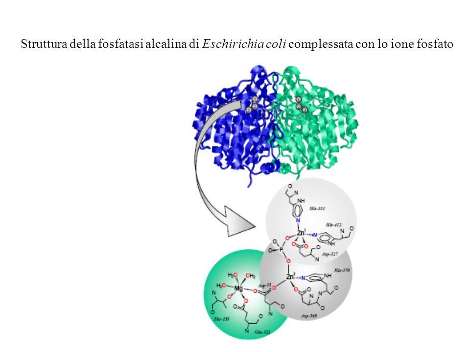Struttura della fosfatasi alcalina di Eschirichia coli complessata con lo ione fosfato