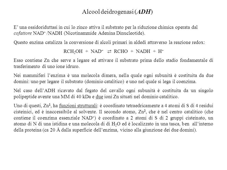 Alcool deidrogenasi (ADH) E una ossidoriduttasi in cui lo zinco attiva il substrato per la riduzione chimica operata dal cofattore NAD + /NADH (Nicoti