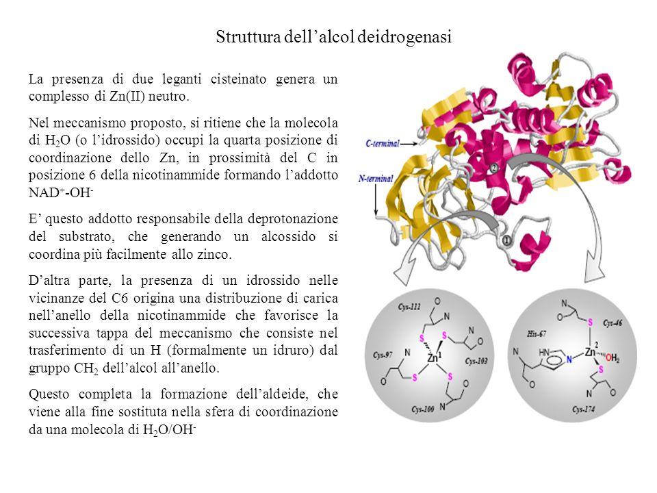 Struttura dellalcol deidrogenasi La presenza di due leganti cisteinato genera un complesso di Zn(II) neutro. Nel meccanismo proposto, si ritiene che l