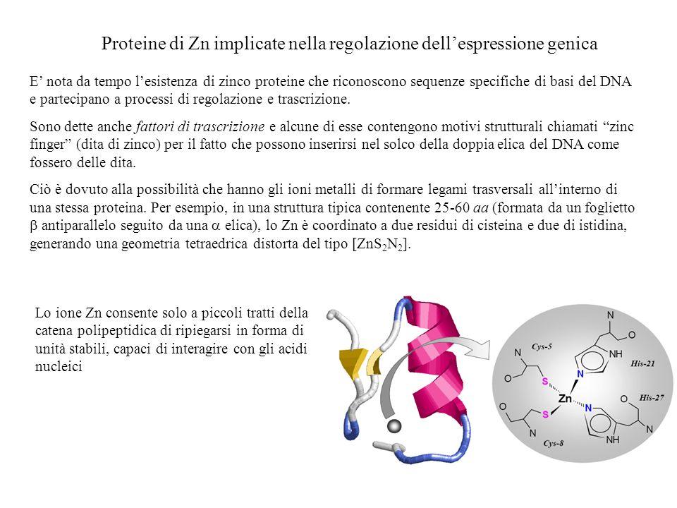 Proteine di Zn implicate nella regolazione dellespressione genica E nota da tempo lesistenza di zinco proteine che riconoscono sequenze specifiche di