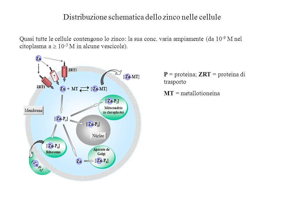 Metallotioneine (MT) Le metallotioneine, la cui funzione biologica non si conosce in gran dettaglio, probabilmente giocano un ruolo di immagazzinamento e somministrazione dei metalli in ambito cellulare.