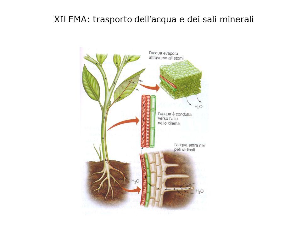 tessuto vascolare floema responsabile del trasporto di H 2 O e di vari composti nella pianta xilema responsabile del trasporto di H 2 O e nutrienti da
