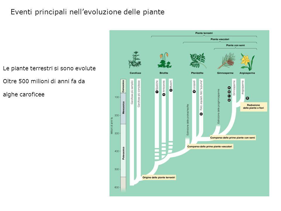 Eventi principali nellevoluzione delle piante Le piante terrestri si sono evolute Oltre 500 milioni di anni fa da alghe caroficee
