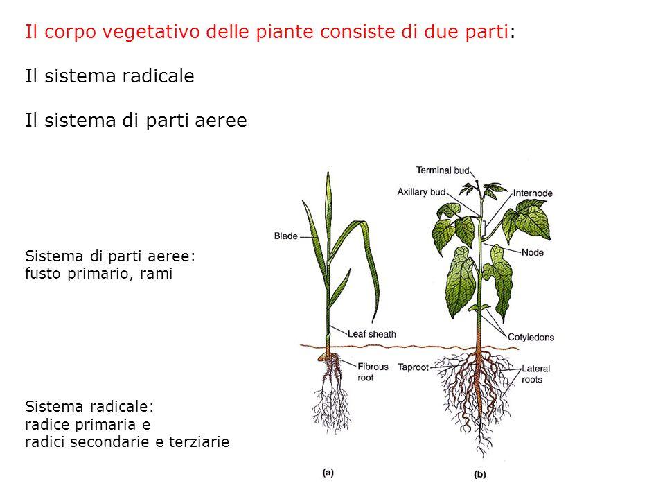 Il corpo vegetativo delle piante consiste di due parti: Il sistema radicale Il sistema di parti aeree Sistema di parti aeree: fusto primario, rami Sistema radicale: radice primaria e radici secondarie e terziarie