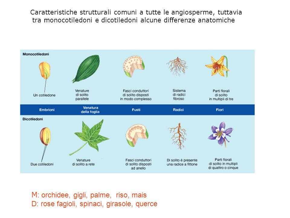 Caratteristiche strutturali comuni a tutte le angiosperme, tuttavia tra monocotiledoni e dicotiledoni alcune differenze anatomiche M : orchidee, gigli, palme, riso, mais D: rose fagioli, spinaci, girasole, querce