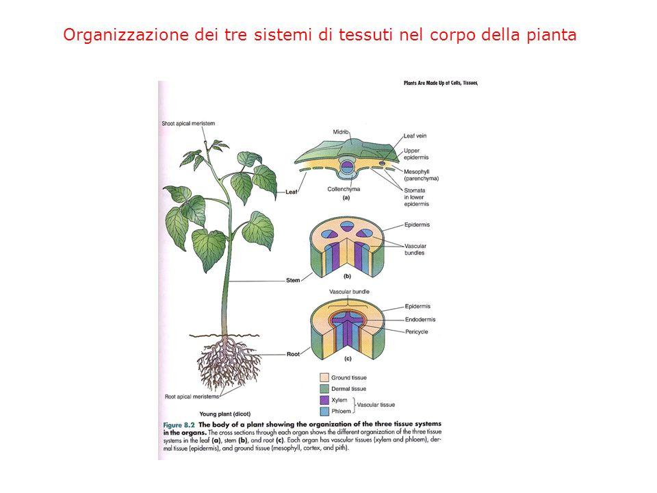 Assorbimento dellH 2 O dalle radici I peli radicali aumentano enormemente la superficie disponibile per lassorbimento.