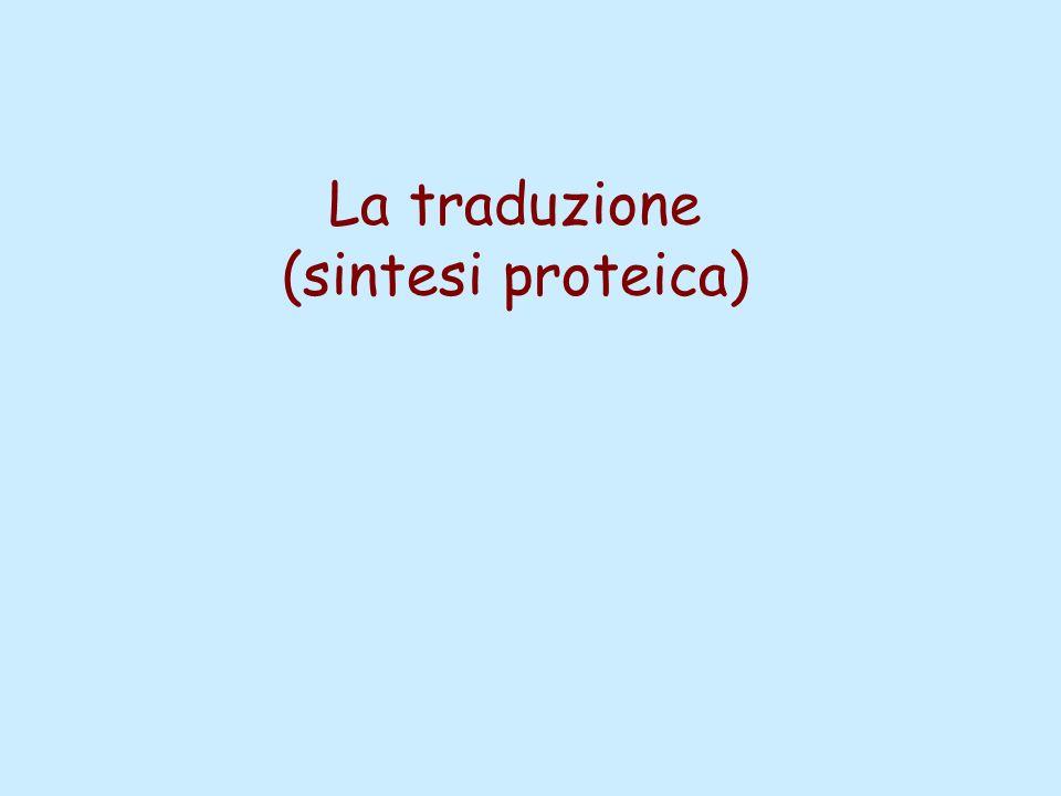 La traduzione (sintesi proteica)