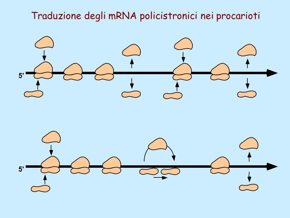 5' Traduzione degli mRNA policistronici nei procarioti