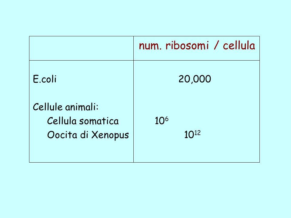 E.coli20,000 Cellule animali: Cellula somatica 10 6 Oocita di Xenopus 10 12 num. ribosomi / cellula