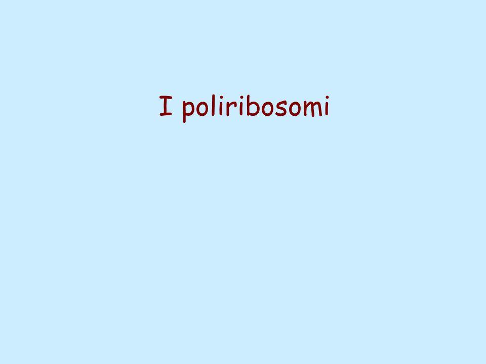 I poliribosomi