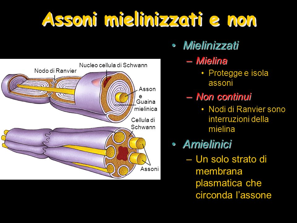 Assoni mielinizzati e non MielinizzatiMielinizzati –Mielina Protegge e isola assoni –Non continui Nodi di Ranvier sono interruzioni della mielina Amie