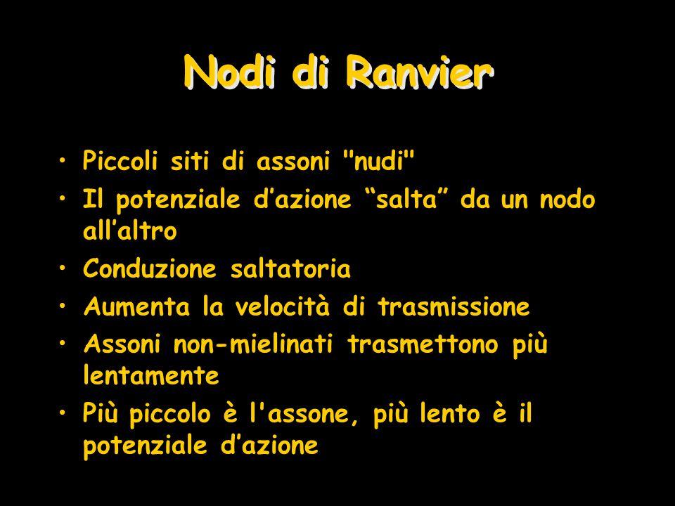 Nodi di Ranvier Piccoli siti di assoni