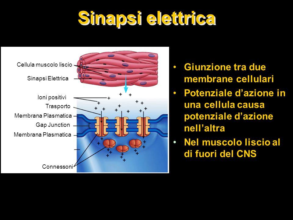 Sinapsi elettrica Giunzione tra due membrane cellulari Potenziale dazione in una cellula causa potenziale dazione nellaltra Nel muscolo liscio al di f