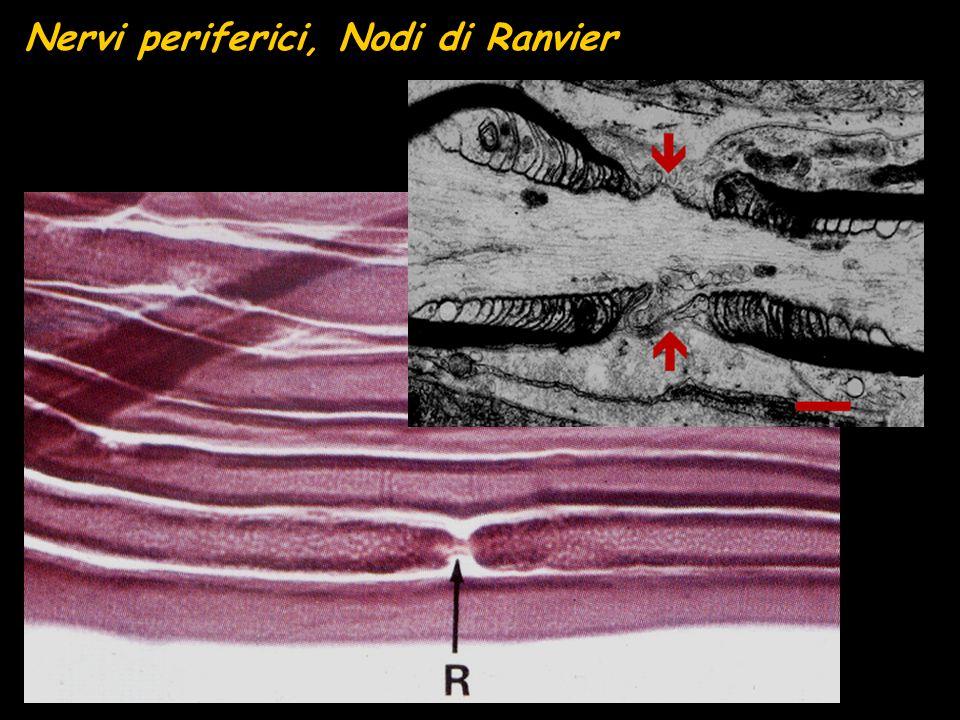 Nervi periferici, Nodi di Ranvier