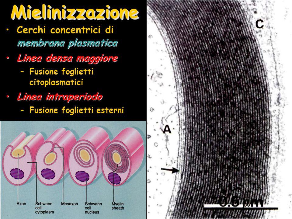 Mielinizzazione membrana plasmaticaCerchi concentrici di membrana plasmatica Linea densa maggioreLinea densa maggiore –Fusione foglietti citoplasmatic