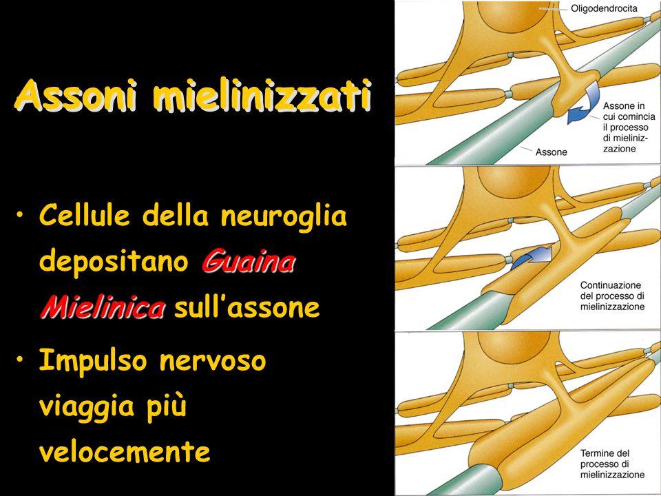 Assoni mielinizzati Guaina MielinicaCellule della neuroglia depositano Guaina Mielinica sullassone Impulso nervoso viaggia più velocemente