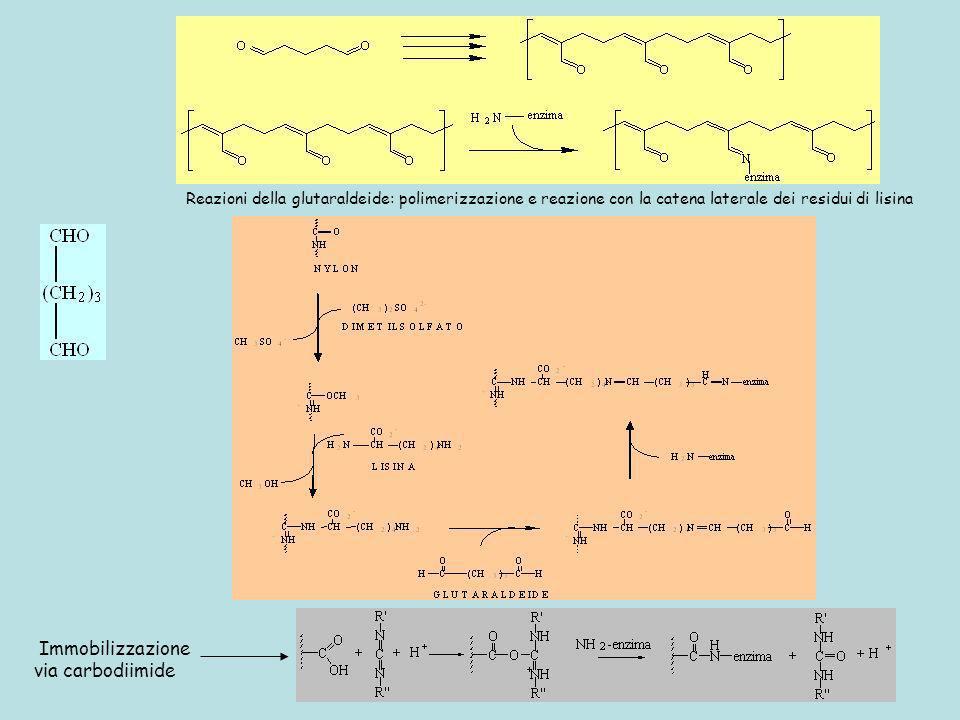 Reazioni della glutaraldeide: polimerizzazione e reazione con la catena laterale dei residui di lisina Immobilizzazione via carbodiimide