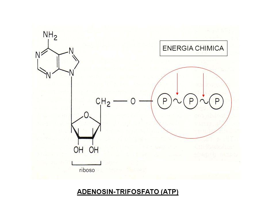 ADENOSIN-TRIFOSFATO (ATP) ENERGIA CHIMICA