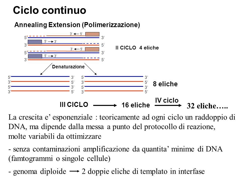 Annealing Extension (Polimerizzazione) La crescita e esponenziale : teoricamente ad ogni ciclo un raddoppio di DNA, ma dipende dalla messa a punto del