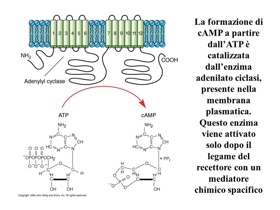 La formazione di cAMP a partire dallATP è catalizzata dallenzima adenilato ciclasi, presente nella membrana plasmatica. Questo enzima viene attivato s