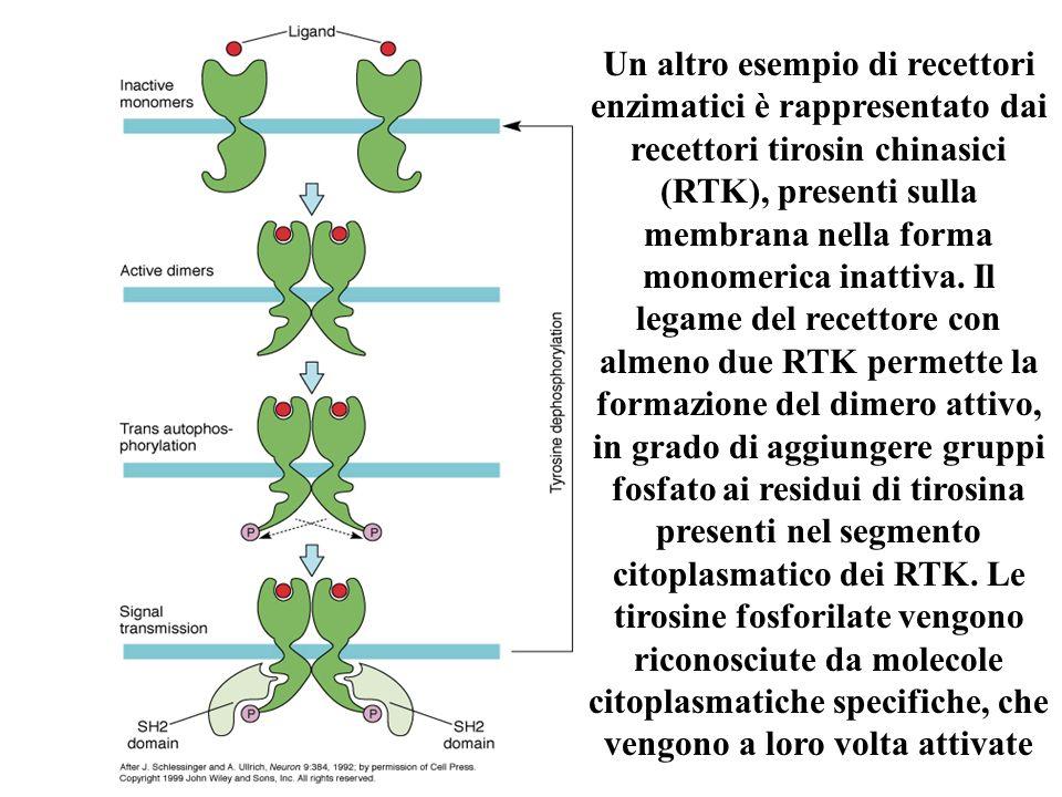 Un altro esempio di recettori enzimatici è rappresentato dai recettori tirosin chinasici (RTK), presenti sulla membrana nella forma monomerica inattiv
