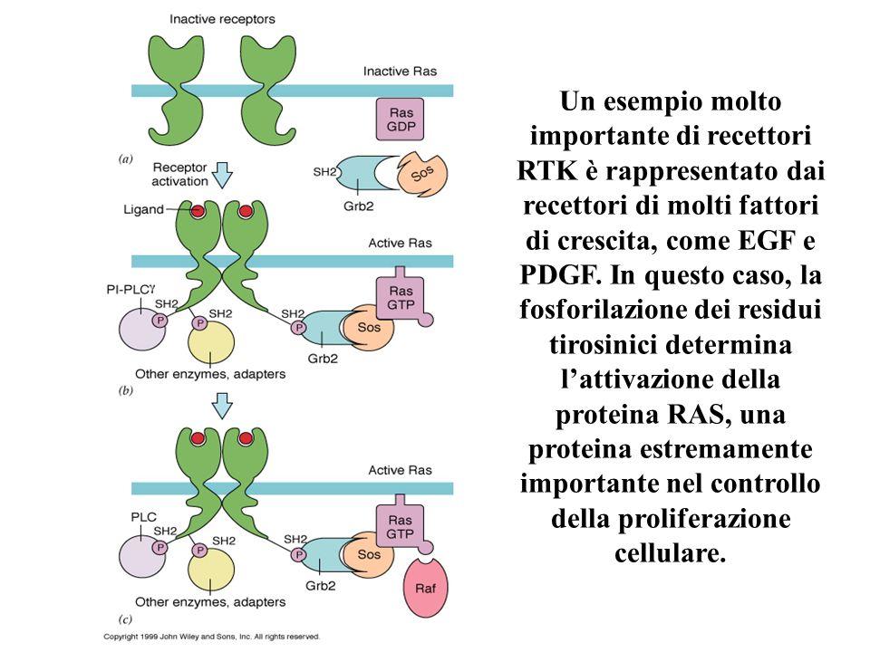Un esempio molto importante di recettori RTK è rappresentato dai recettori di molti fattori di crescita, come EGF e PDGF. In questo caso, la fosforila