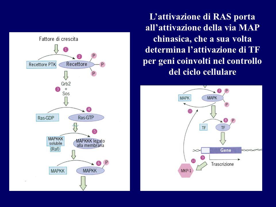 Lattivazione di RAS porta allattivazione della via MAP chinasica, che a sua volta determina lattivazione di TF per geni coinvolti nel controllo del ci