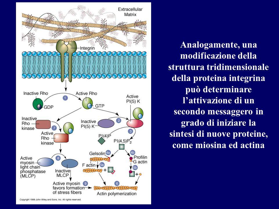 Analogamente, una modificazione della struttura tridimensionale della proteina integrina può determinare lattivazione di un secondo messaggero in grad