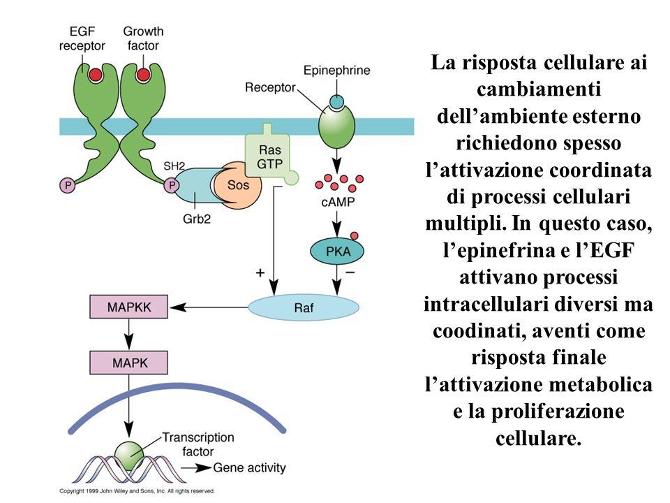 La risposta cellulare ai cambiamenti dellambiente esterno richiedono spesso lattivazione coordinata di processi cellulari multipli. In questo caso, le